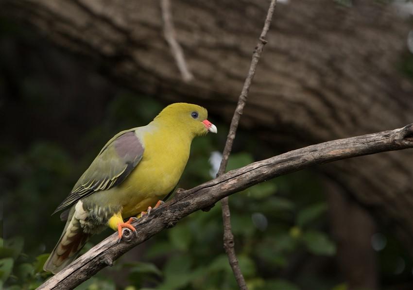 African-Green-Pigeon-2.-DSC_2963