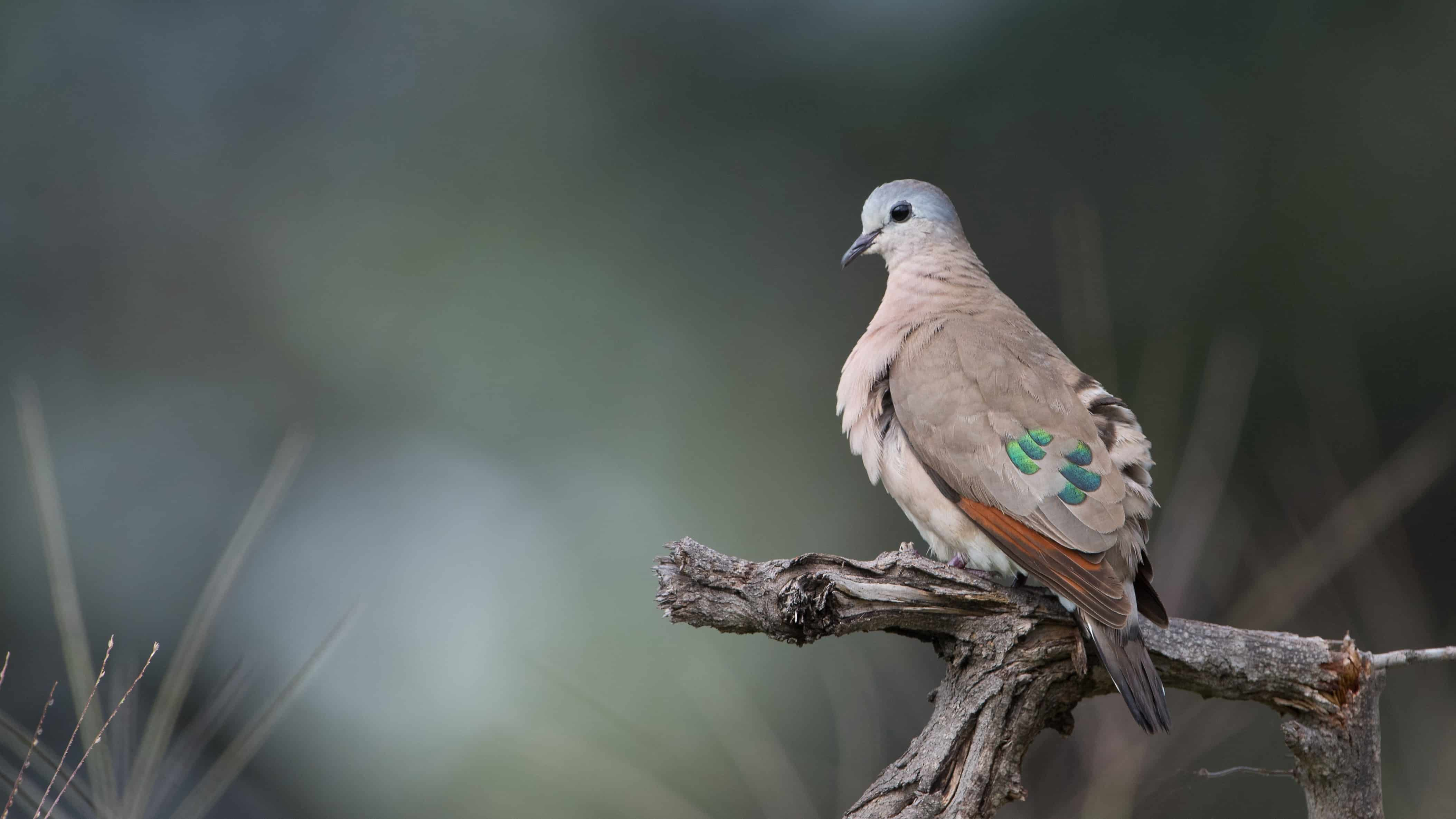 Emerld-spotted Wood Dove DSC_2350_adobespark