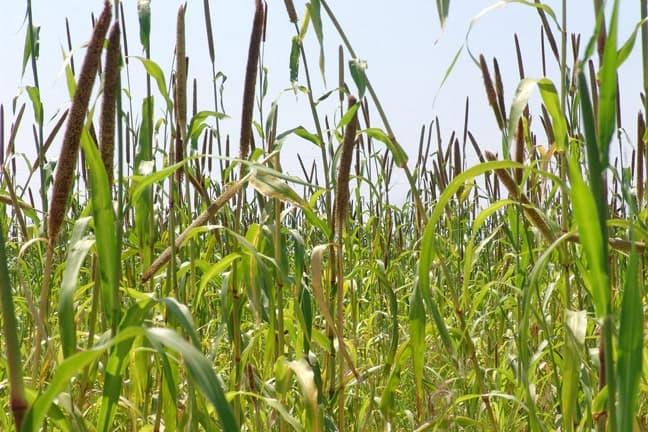 Mahangu fields, makalani palms, oshanas and homesteads characterise the rural north of Namibia.