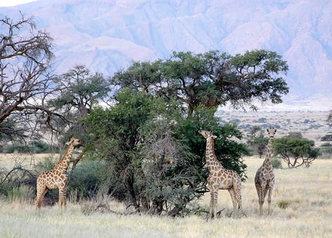 Giraffes in the Gondwana Namib Park enjoying their favourite food: the leaves of camel thorn trees.