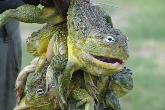 Bull Frog Namibia