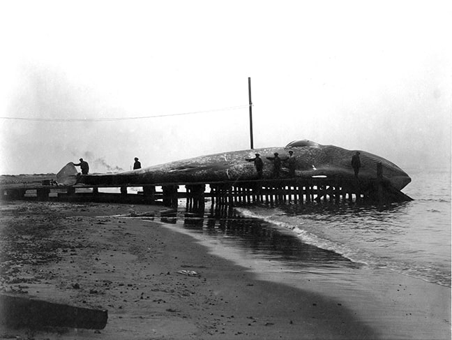 A blue whale is pulled ashore via the slipway for processing.  (Source: National Archives)