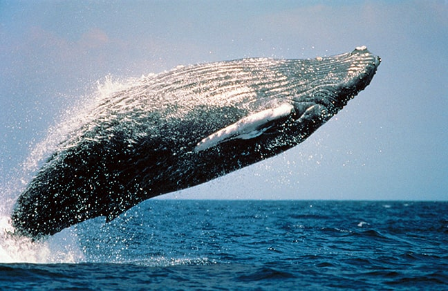 Humpback whales can be spotted along the Namibian coastline. (Photo: Wanetta Ayers, Wikipedia)