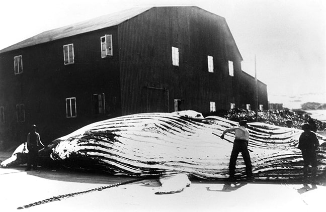 A whale in front of the whaling station in Walvis Bay. (Source: National Archives)