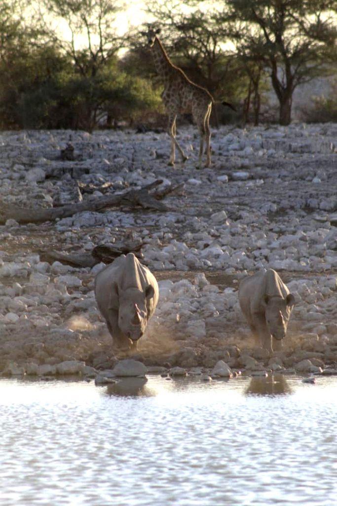 Rhinos approaching the waterhole at sunset in Etosha National Park ©Nela Shikemeni