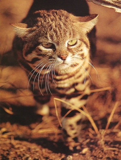 Black-footed cat in Sunlight