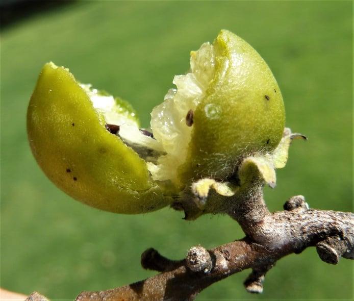 Berry fruit (Eenyandi)