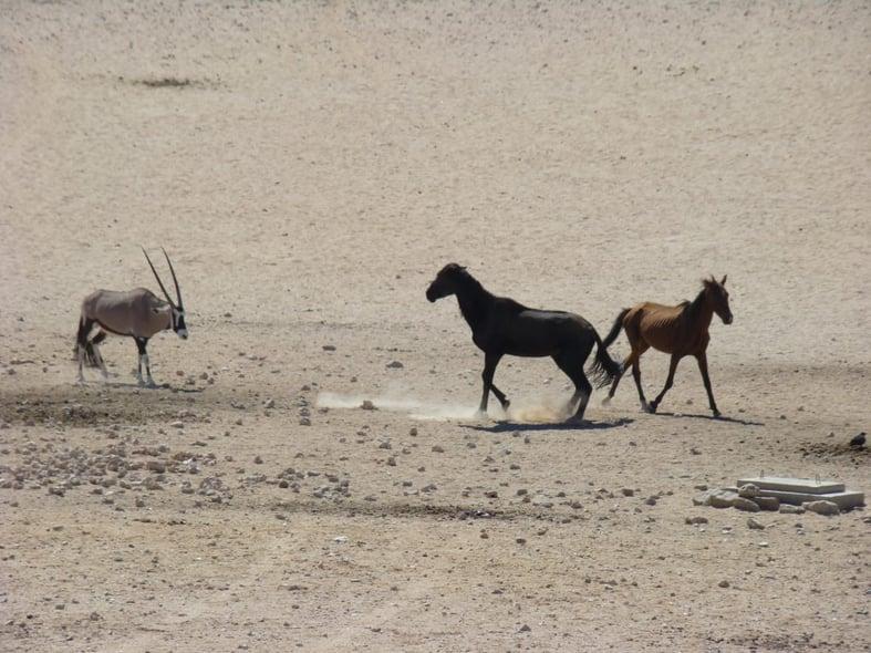 Oryx & Wild-horses at the Garub Waterhole - Photo: Tanja Meyer