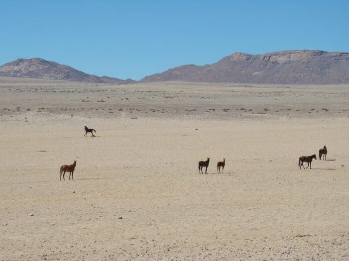 Thirsty horses approaching Garub waterhole - Photo: Tanja Meye