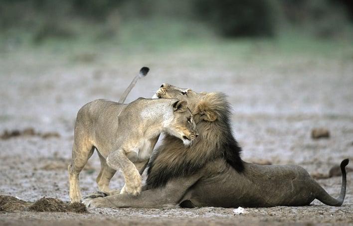 ENP lions