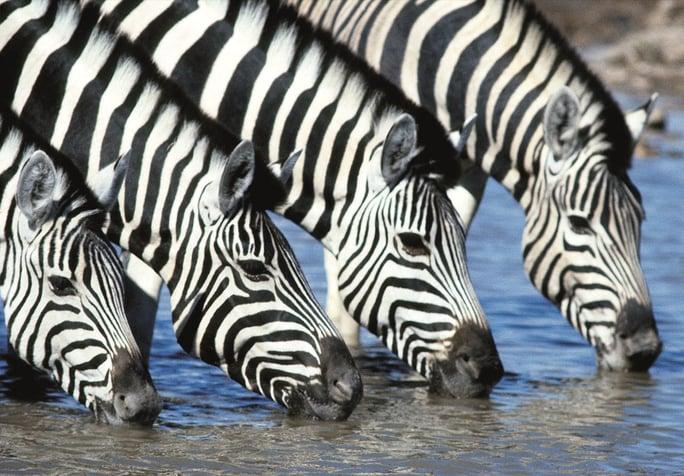 Zebra at a waterhole in the Etosha National Park