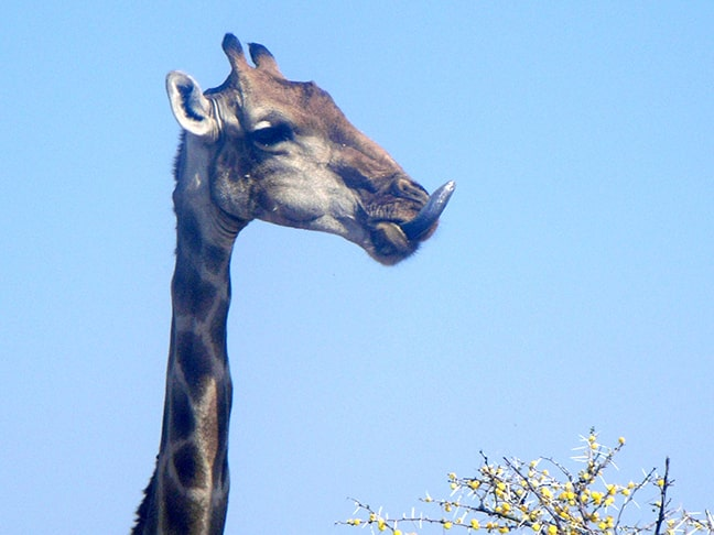 The tongue of a giraffe can be up to 50 cm long.