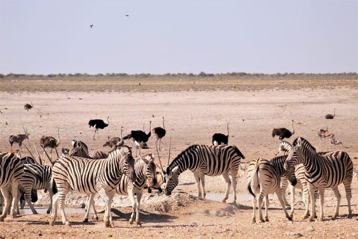 Animals by the waterhole in Etosha National Park ©Nela Shikemeni