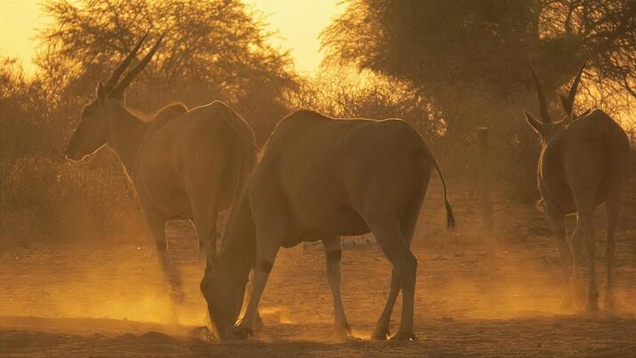 A herd of eland disturbs the Kalahari dust before disappearing onto the horizon. © Annelien Robberts