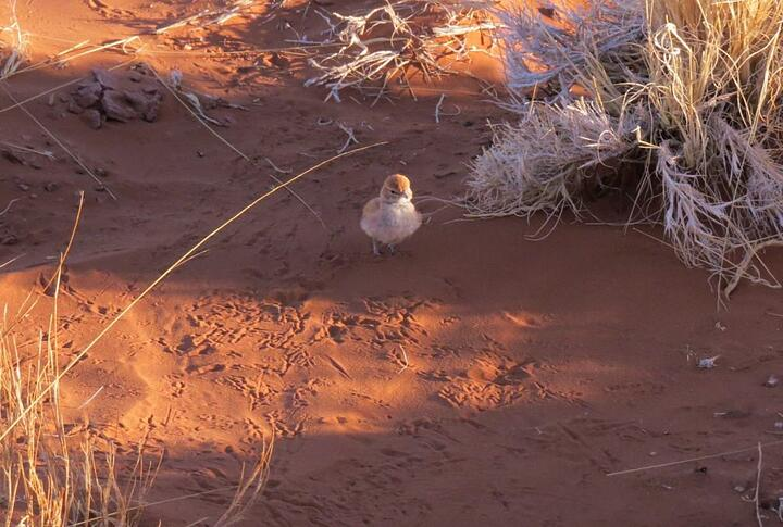 The busy body Dune Lark. Look at all those tiny footprints in the sand! © Annelien Robberts