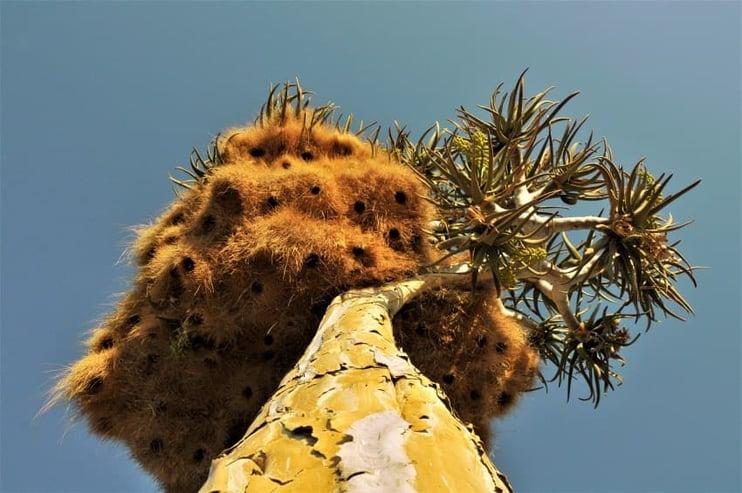 Bird Nest in Quiver tree