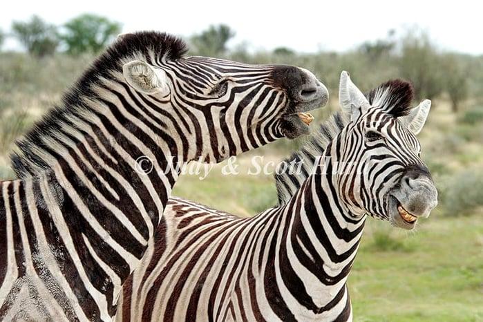 Two Zebra's having fun.