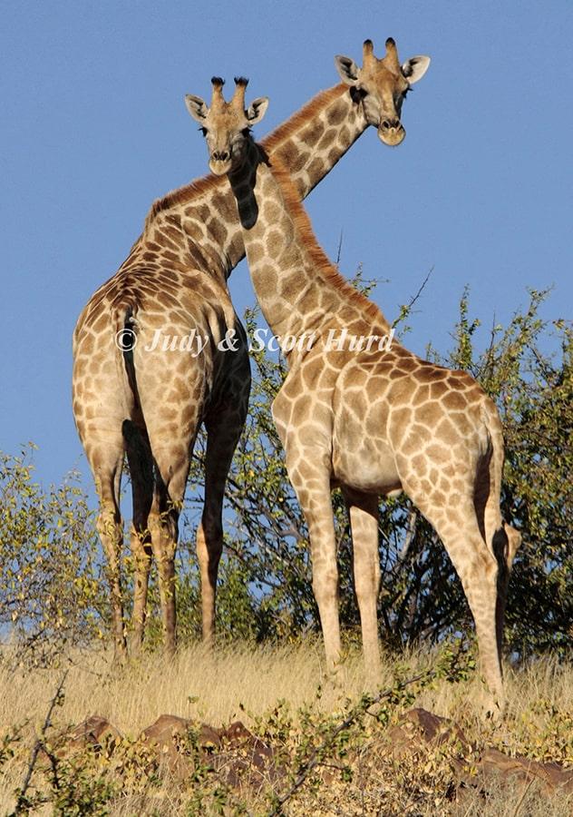 Giraffes at the Gondwana Kalahari Park