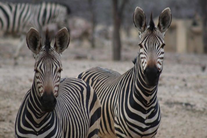 Mountain Zebra's