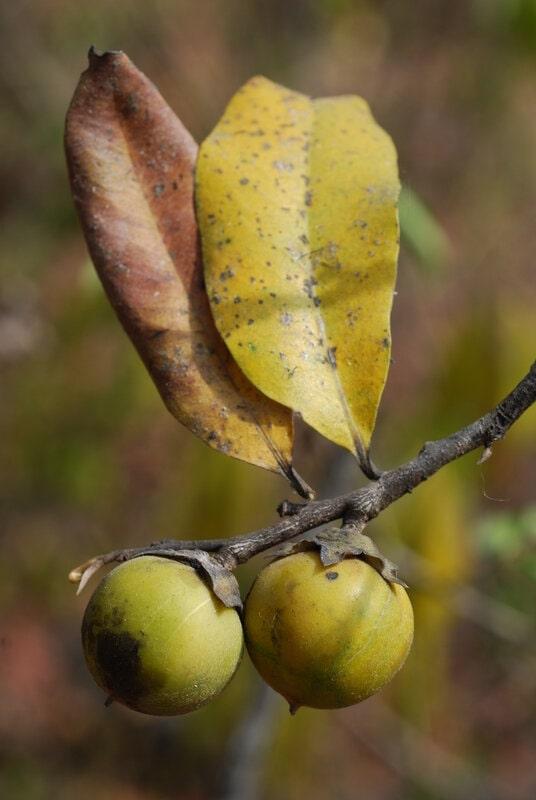 Jackalberry branch with berry fruit (Eenyandi)