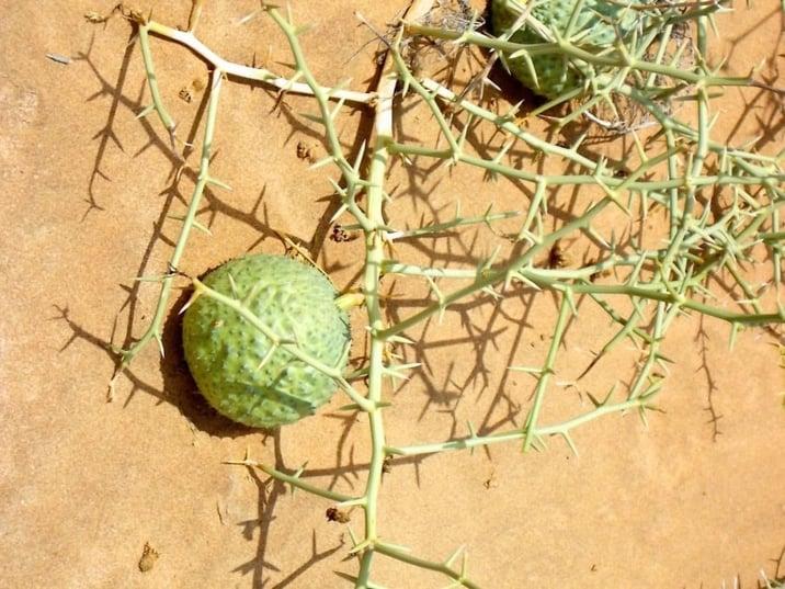 The Nara fruit