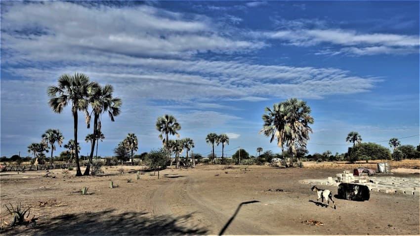 Makalani Palm Tree