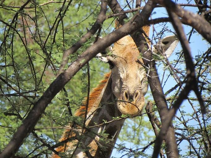 GIraffe hiding in the Camelthorn tree