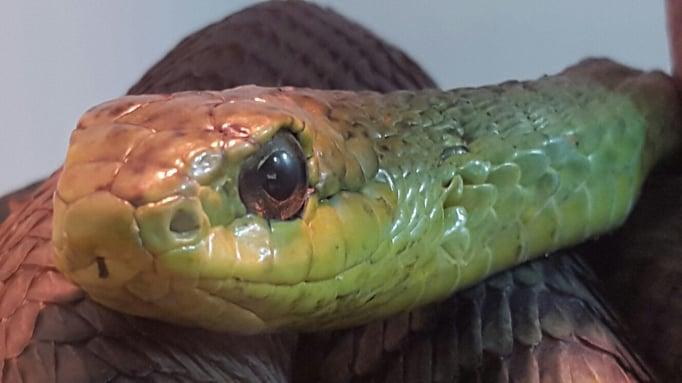 Snake at Swakopmund Snake Park.