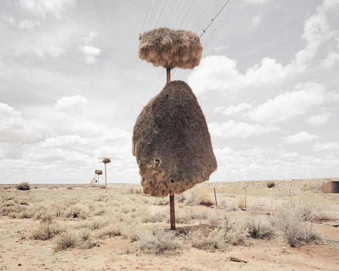 Sociable Weavers nests on Telephone poles