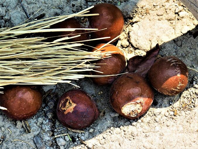 Ripe Palm tree fruits