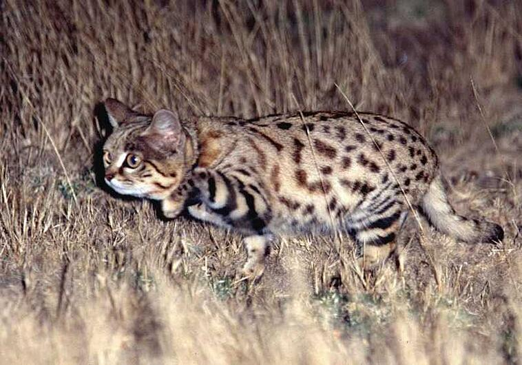 Black footed cat hunting