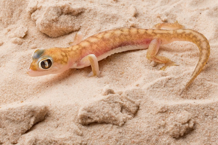 Image: Web-footed-Gecko-Pictures
