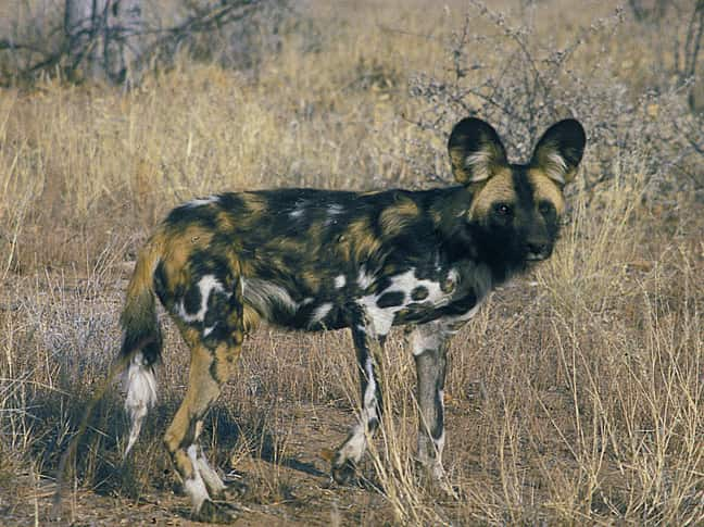 When the cage was opened this adult female from De Wildt in South Africa immediately adopted the young wild dogs.