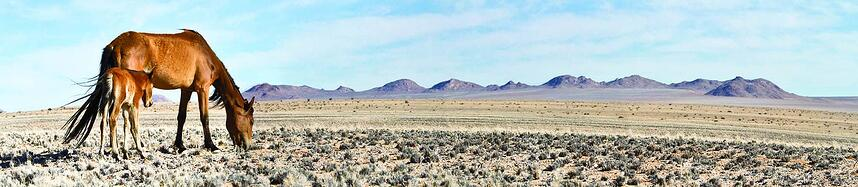 Wild horses in the landscape. image credtis : Judy and Scott Hurd