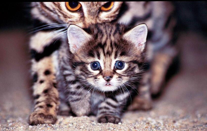 Black-footed cat and kitten