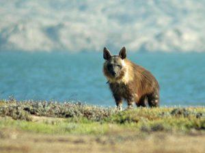 Brown Hyena at the Namibian coast near Lüderitz.  Photo: Brown Hyena Research Project