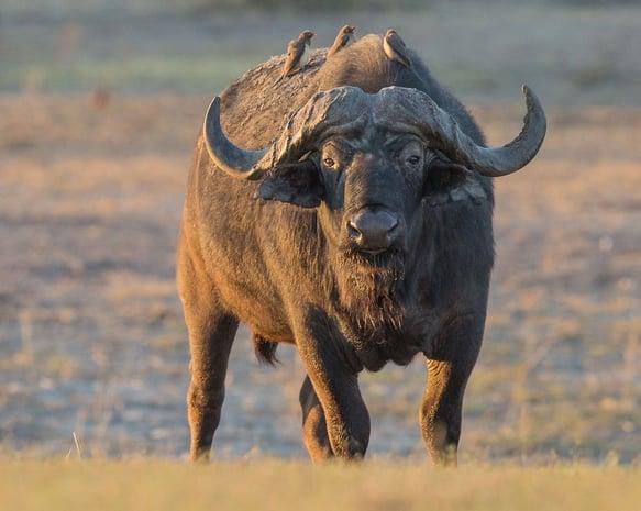 buffal4-2