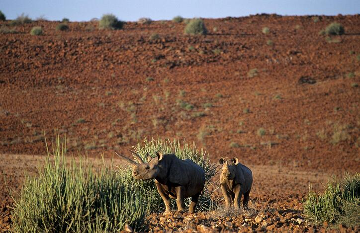 Black rhinoceros cow with sub-adult calf by Hentie Burger