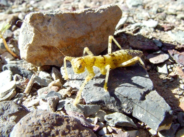 The predatory gladiator insect in its typical environment at the Fish River Canyon. Photo: EduVentures