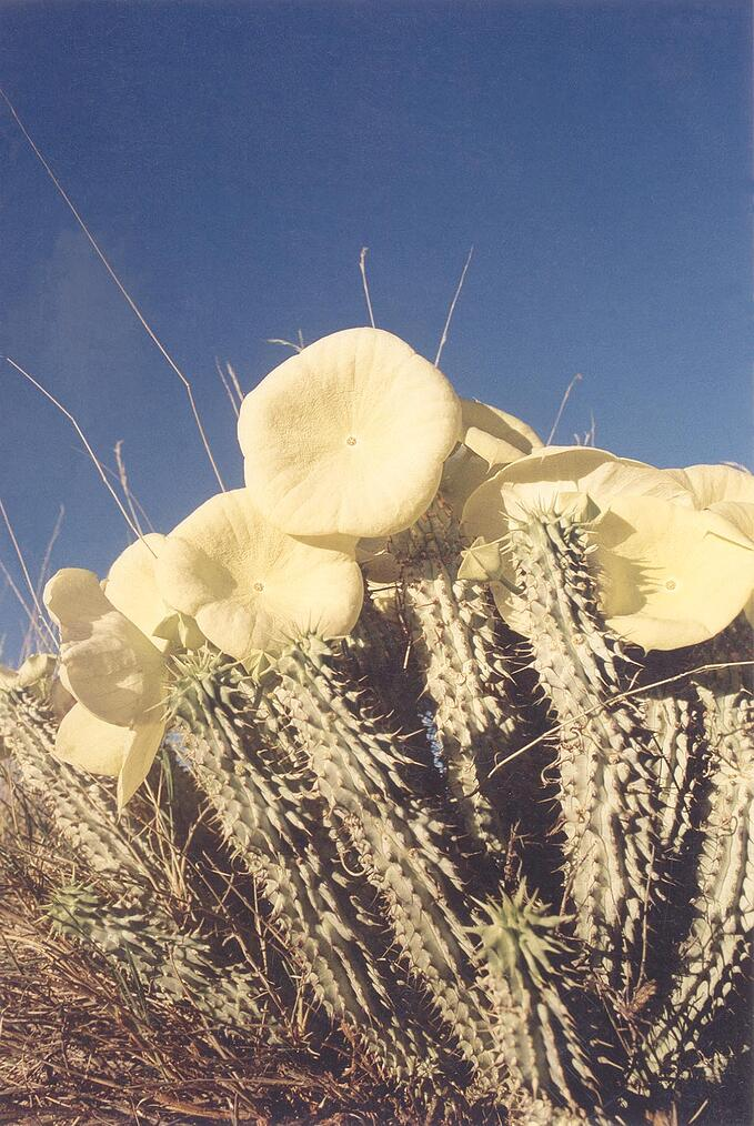 Hoodia with yellow flowers in the Gondwana Cañon Park.  Photo: Mannfred Goldbeck