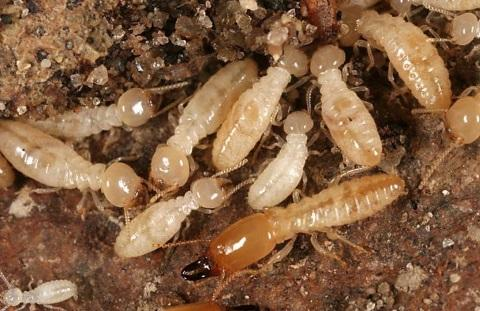 Termites - Rights to boricacid.net.au