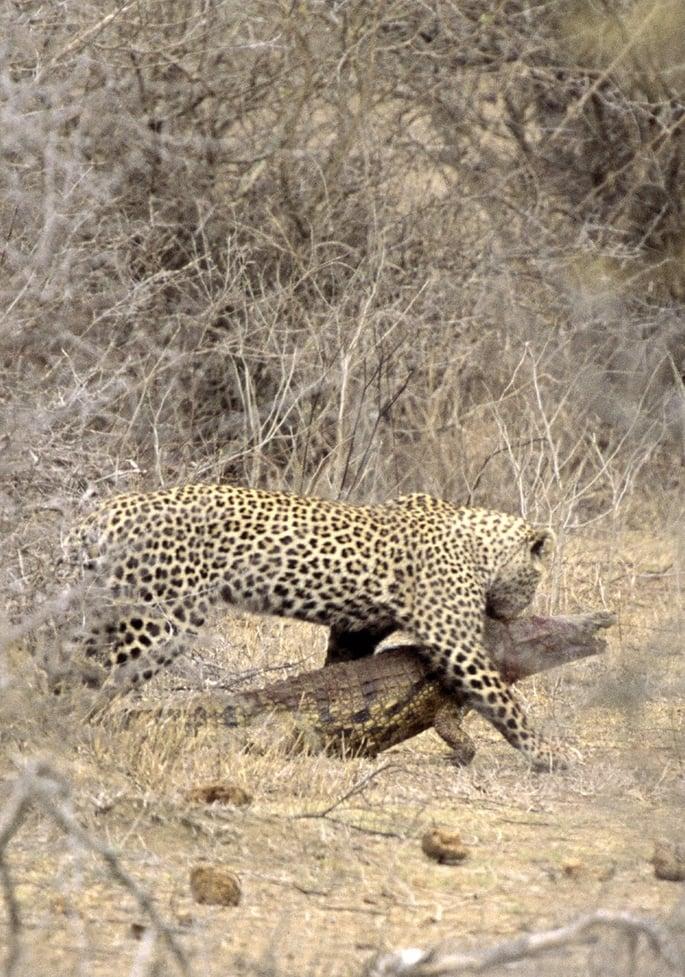 Rare sight: Leopard killing a crocodile.  Photo: Hal Brindley