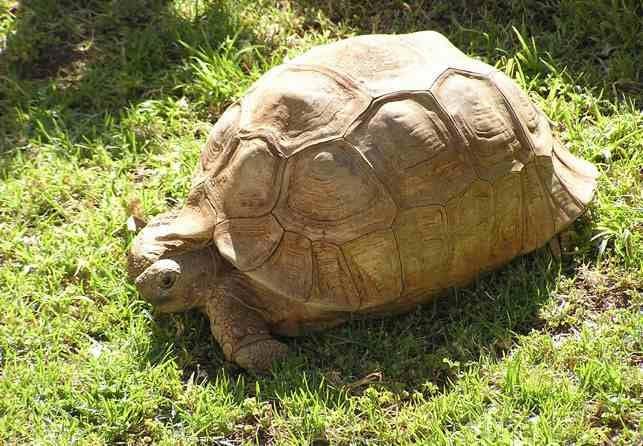 Leopard tortoise. Photo: Alfred Schleicher