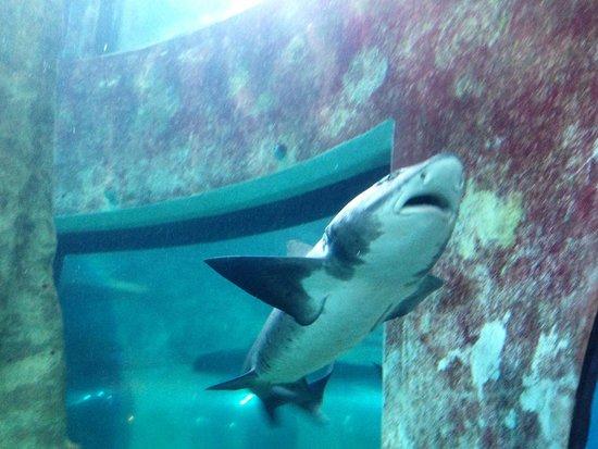 Shark at the National Marine Aquarium Swakopmund.