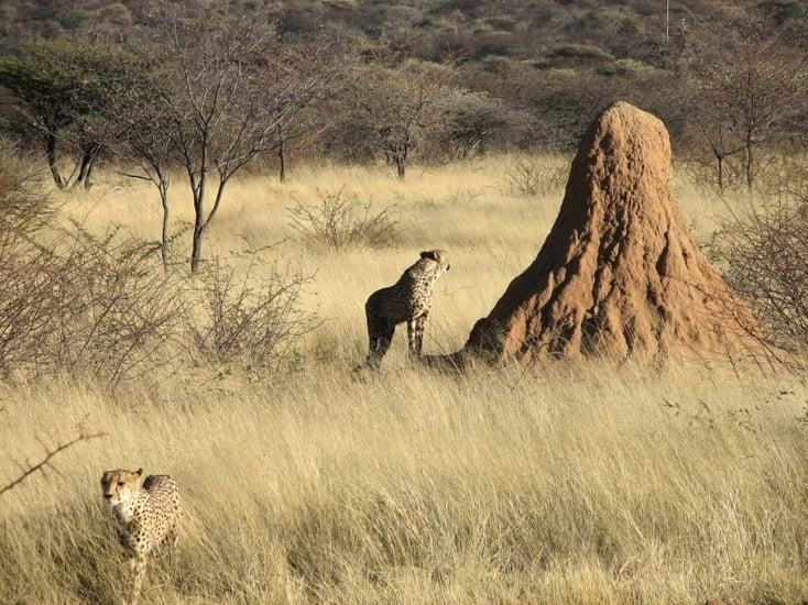 Termite mound: Image: Wikipedia