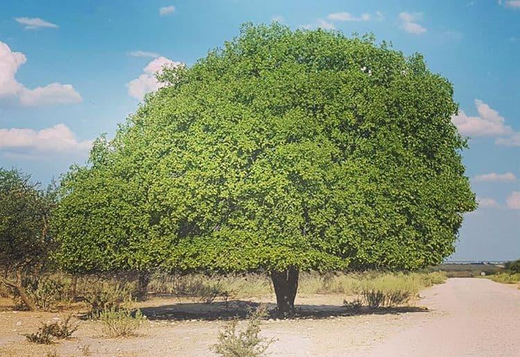 Plum Tree, Namibia