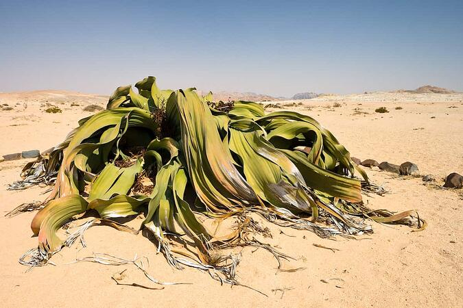 Welwitschia Mirabilis. Oldest plant in the world.