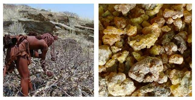 Left picture : Woman collectin resin. Right : Golden resin from the tree