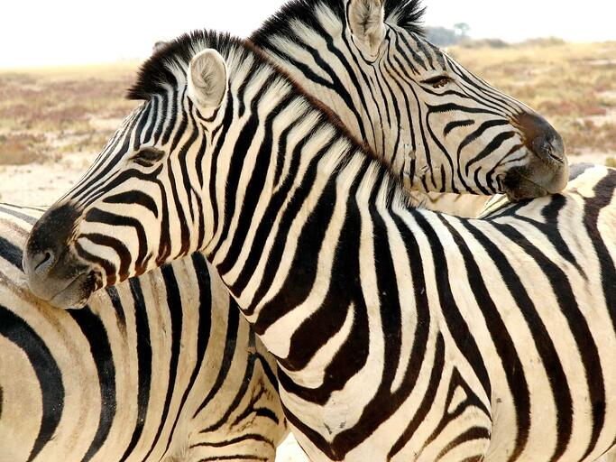 Stripes merge individuals into a group.
