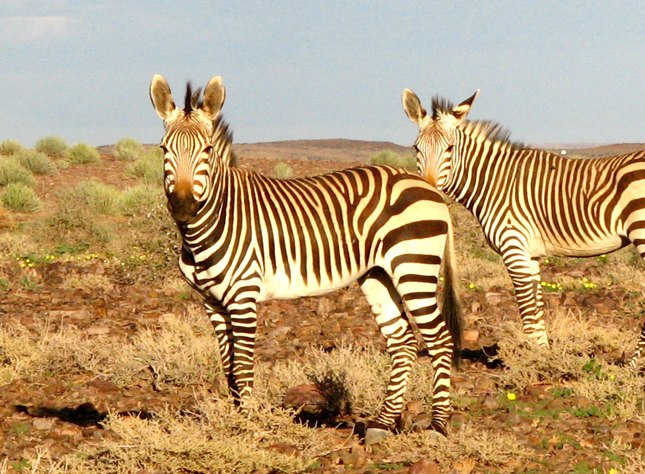 The stripes tell the difference between Hartmann's and Burchell's zebra (below). Photo: Ron Swilling